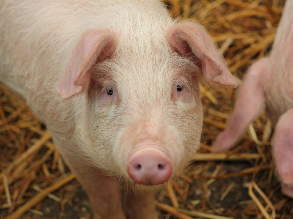 Gélatine porc Dentifrice
